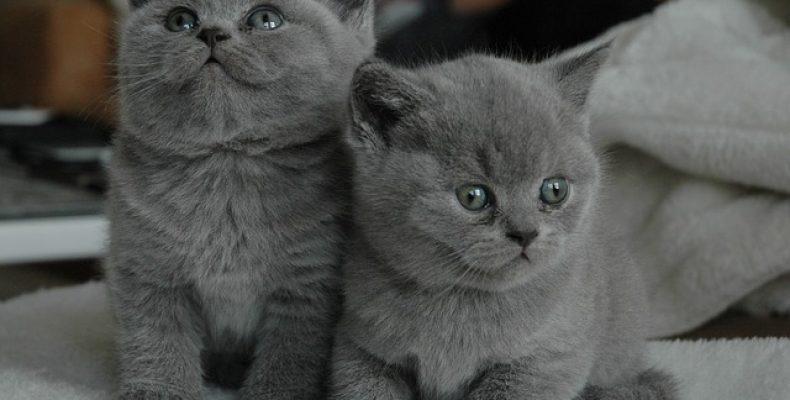 Воспитание британского кота